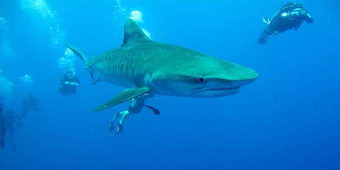 Diving with Sharks (Photo by African Dive Adventures)
