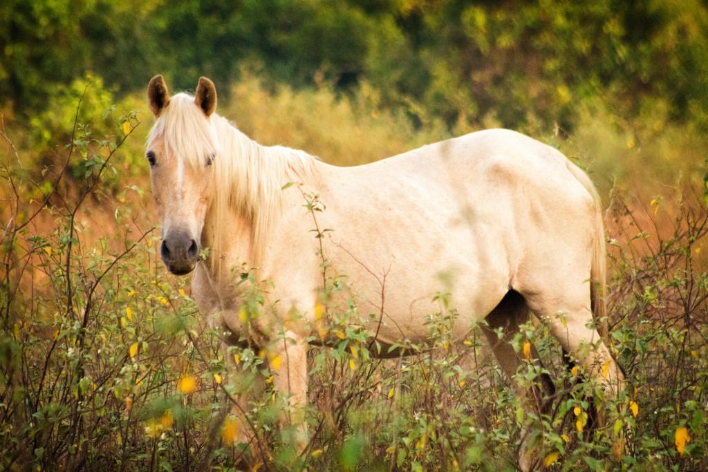 Horse of the gauchos