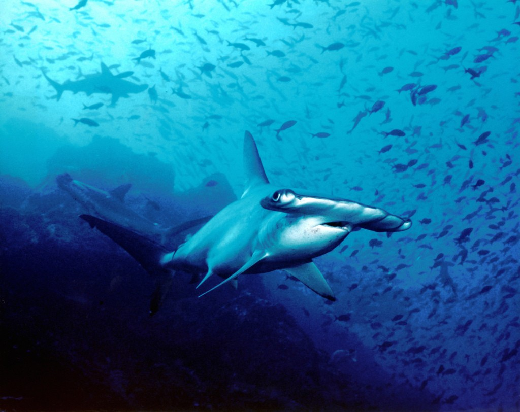Diving on Cocos Island (photo by Barry Peters)