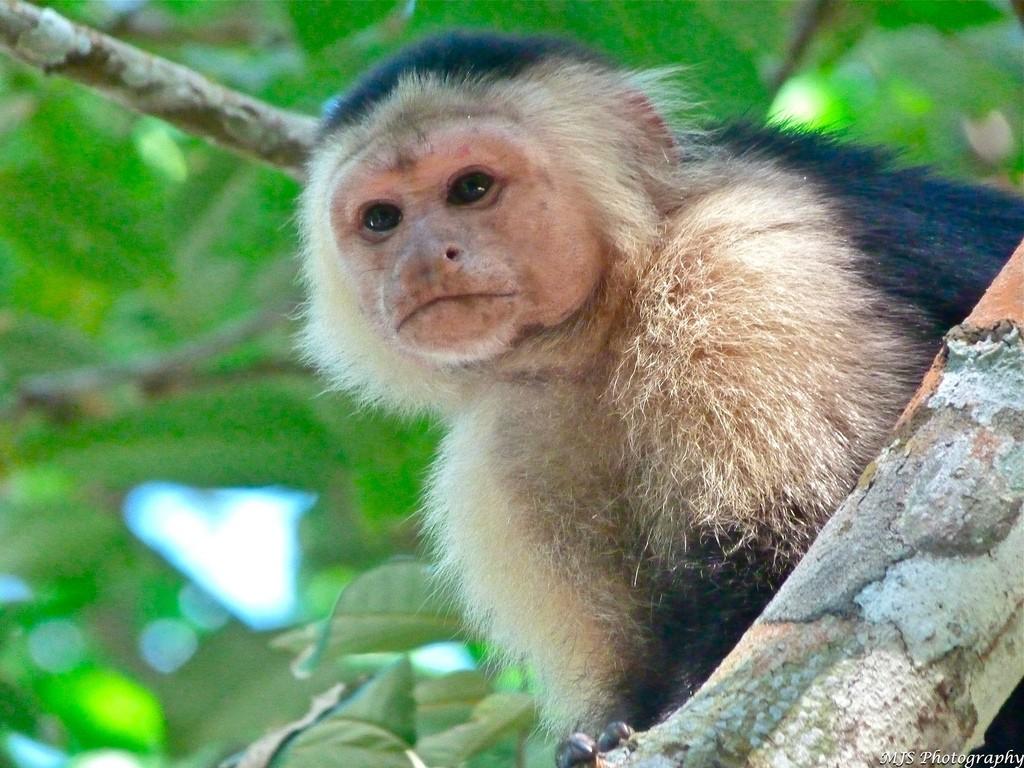 Monkey in Cahuita National Park (photo by Marissa Strniste)