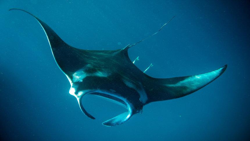 scuba dive manta rays