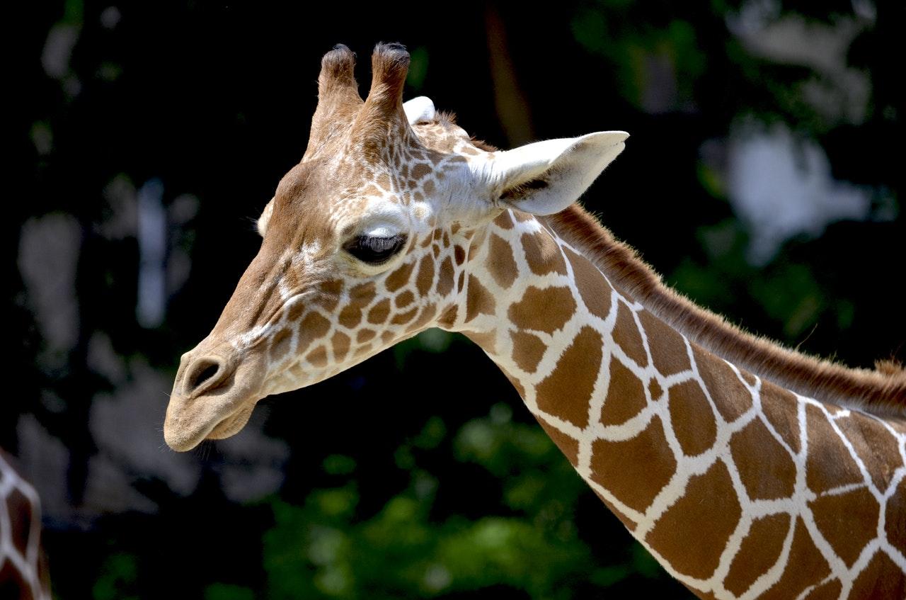 giraffe-reticulated-giraffe-neck-beautiful-158832
