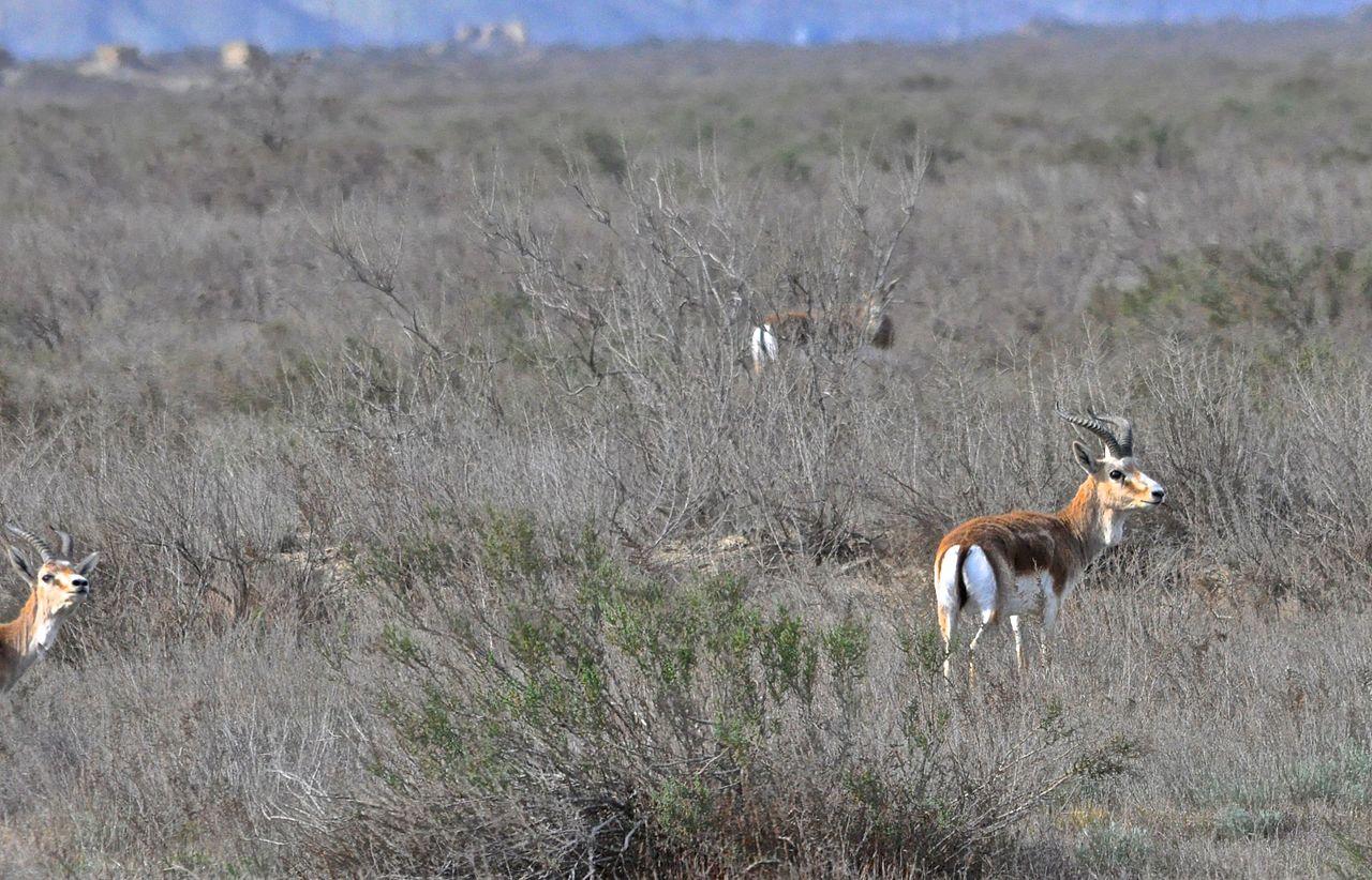 Gazelle,_Shirvan_NP1