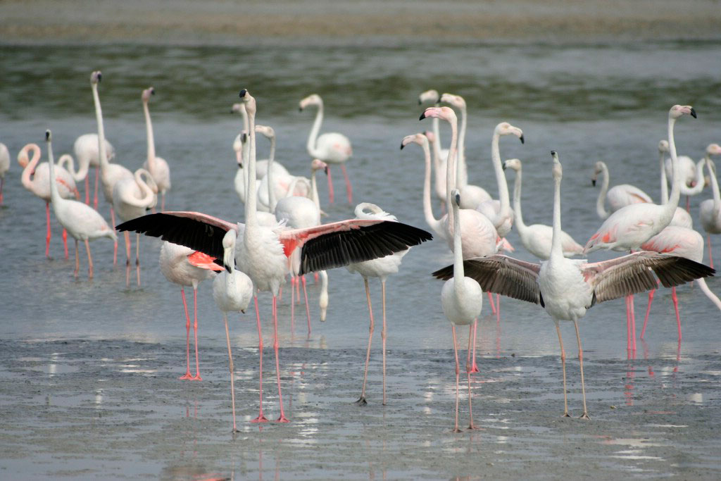 Greater_Flamingo_31-01-2006_15-14-04